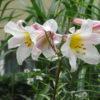Vrtnarstvo Breskvar - Lilium regale