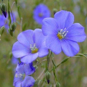 Vrtnarstvo Breskvar - Linum perenne