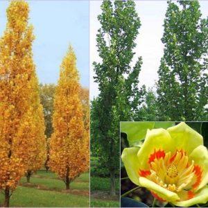 Vrtnarstvo Breskvar - Liriodendron Tulipifera Fastigiatum