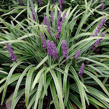 Vrtnarstvo Breskvar - Liriope muscari
