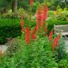 Vrtnarstvo Breskvar - Lobelia cardinalis