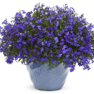 Vrtnarstvo Breskvar - Lobelia erinus
