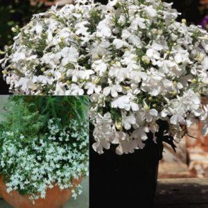 Vrtnarstvo Breskvar - Lobelia Lobelix Big White