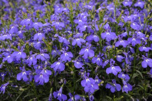 Vrtnarstvo Breskvar - Lobelia Lobelix Soft Violet