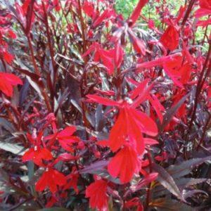 Vrtnarstvo Breskvar - Lobelia splendens Elmfeuer
