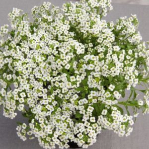 Vrtnarstvo Breskvar - Lobularia maritima Giga White