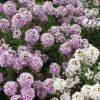 Vrtnarstvo Breskvar - Lobularia maritima