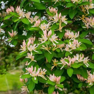 Vrtnarstvo Breskvar - Lonicera Fragrantissima