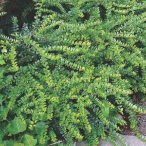 Vrtnarstvo Breskvar - Lonicera nitida Maigrun