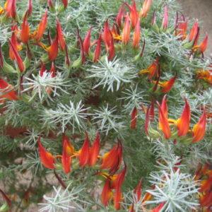 Vrtnarstvo Breskvar - Lotus berthelotii