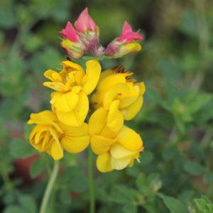 Vrtnarstvo Breskvar - Lotus Corniculatus Pleniflorus