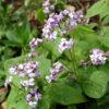 Vrtnarstvo Breskvar - Lunaria redivia