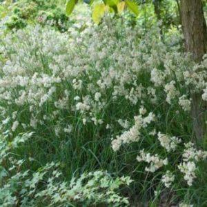 Vrtnarstvo Breskvar - Luzula nivea