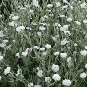 Vrtnarstvo Breskvar - Lychnis coronaria Alba