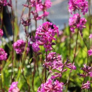 Vrtnarstvo Breskvar - Lychnis viscaria Feuer