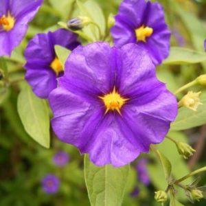 Vrtnarstvo Breskvar - Lycianthes rantonnetii
