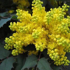 Vrtnarstvo Breskvar - Mahonia aquifolium Apollo
