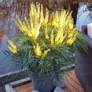 Vrtnarstvo Breskvar - Mahonia eurybracteata Soft Caress