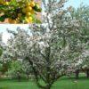 Vrtnarstvo Breskvar - Malus Golden Hornet