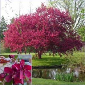 Vrtnarstvo Breskvar - Malus Royalty