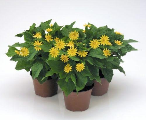 Vrtnarstvo Breskvar - Melampodium Paludosum