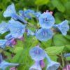 Vrtnarstvo Breskvar - Mertensia virginica