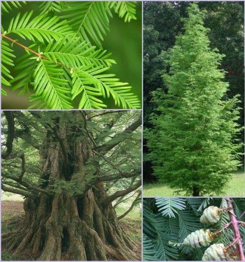 Vrtnarstvo Breskvar - Metasequoia glyptostroboides