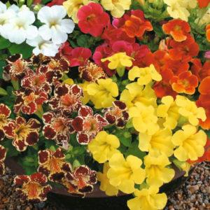 Vrtnarstvo Breskvar - Mimulus hybridus