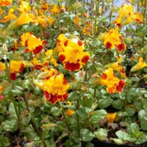 Vrtnarstvo Breskvar - Mimulus luteus Tigrinus Grandiflorus