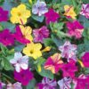 Vrtnarstvo Breskvar - Mirabilis jalapa