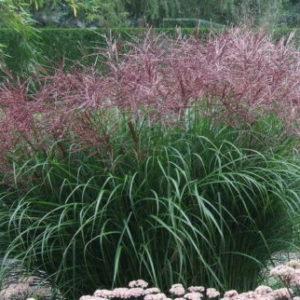 Vrtnarstvo Breskvar - Miscanthus Sinensis Ferner Osten