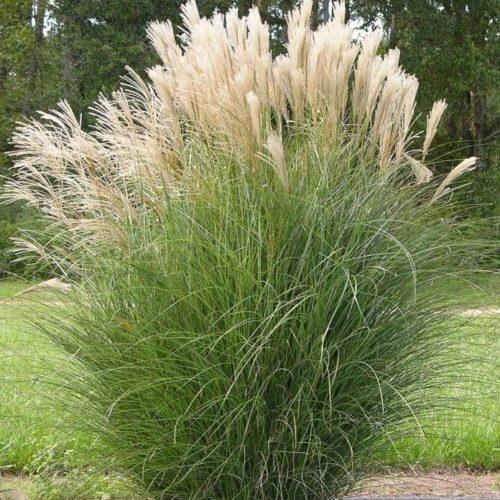 Vrtnarstvo Breskvar - Miscanthus sinensis Gracillimus
