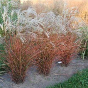 Vrtnarstvo Breskvar - Miscanthus sinensis Graziella