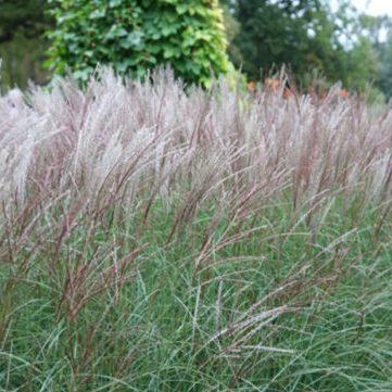 Vrtnarstvo Breskvar - Miscanthus sinensis Kleine Silberspinne