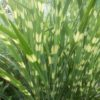 Vrtnarstvo Breskvar - Miscanthus sinensis Zebrinus