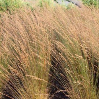 Vrtnarstvo Breskvar - Molinia caerulea Edith Dudzus