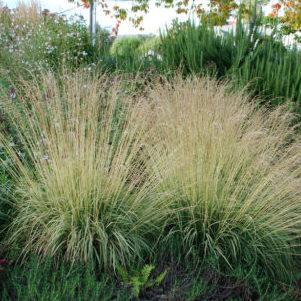 Vrtnarstvo Breskvar - Molinia caerulea Variegata