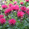 Vrtnarstvo Breskvar - Monarda didyma Pink Supreme