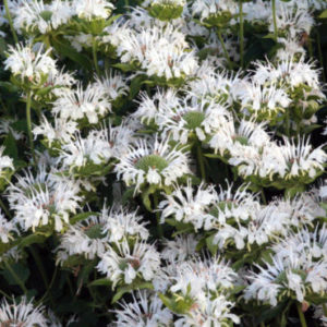 Vrtnarstvo Breskvar - Monarda fistulosa Schneewittchen