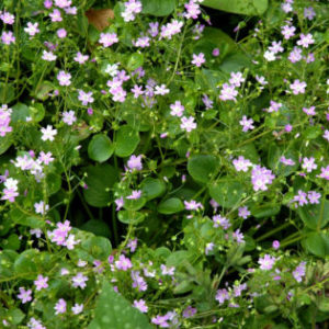 Vrtnarstvo Breskvar - Montia sibirica