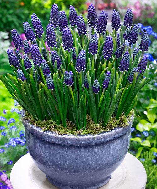 Vrtnarstvo Breskvar - Muscari armeniacum