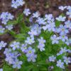 Vrtnarstvo Breskvar - Myosotis sylvatica