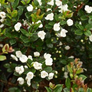 Vrtnarstvo Breskvar - Myrtus communis