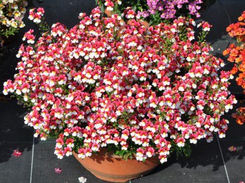 Vrtnarstvo Breskvar - Nemesia Cherry on Ice