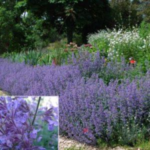 Vrtnarstvo Breskvar - Nepeta Faassenii Walker's Low