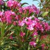 Vrtnarstvo Breskvar - Nerium oleander