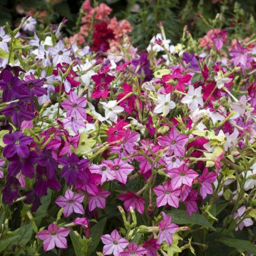 Vrtnarstvo Breskvar - Nicotiana sanderae