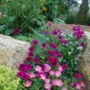 Vrtnarstvo Breskvar - Nierembergia hippomanica