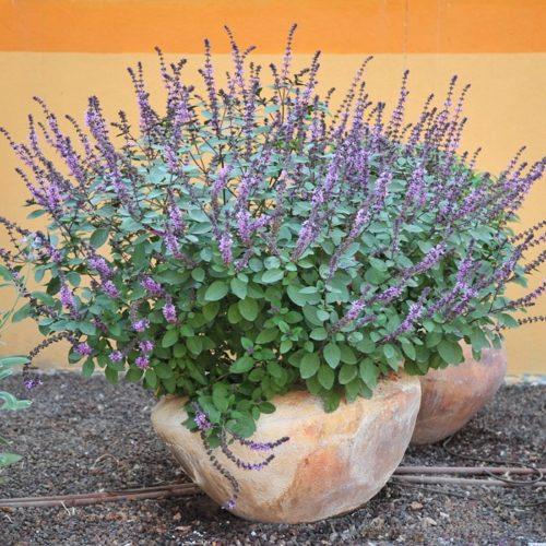 Vrtnarstvo Breskvar - Ocimum basilicum Magic Mountain