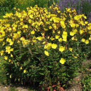 Vrtnarstvo Breskvar - Oenothera fruticosa Sonnenwende